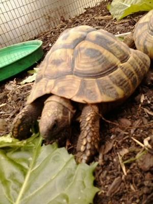 Schildkröte Celina